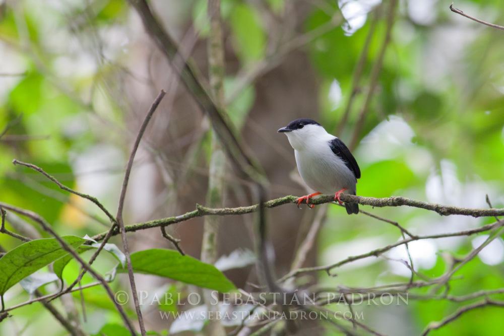 Manacus manacus - Ecuador