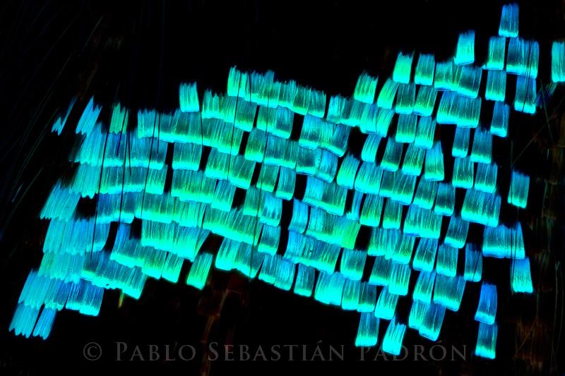 Urania leilus - Ecuador