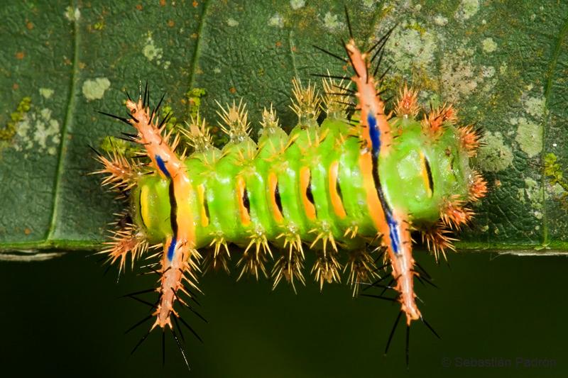 Limacodidae.jpg