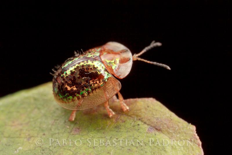 Cassidinae 3 - Ecuador
