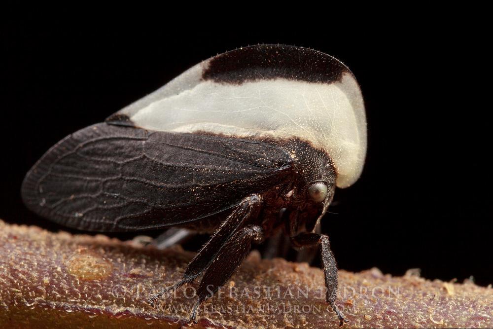 Membracis sp 2 Ecuador