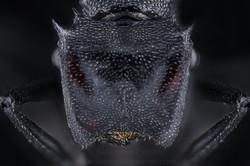 Cephalotes atractus