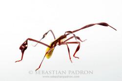 coreidae