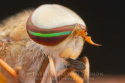 Tabanidae 3 - Ecuador