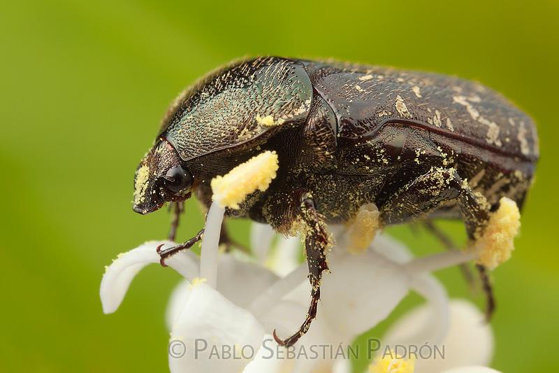 Cetoniinae -  Ecuador