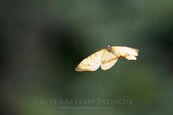 Morpho sulkowskyi - Ecuador