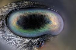 Ojo de Ichneumonidae