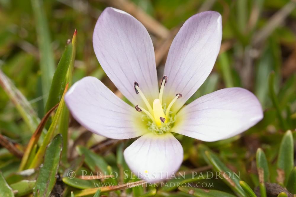 Gentianella cerastioides 2 - Ecuado