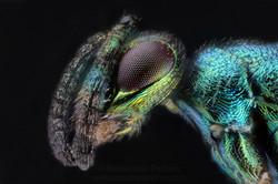 Chalcidoidea