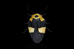 Eushelfordia pica