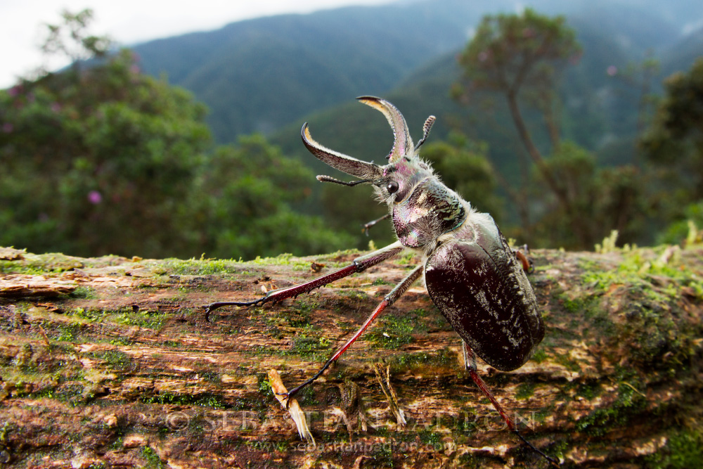Sphaenognathus feisthamelii