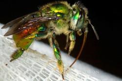 Euglossa sp. -  Ecuador
