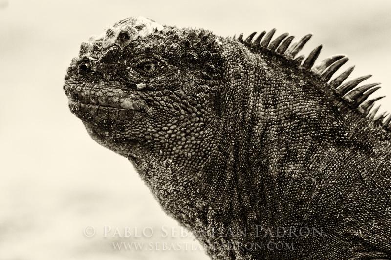 Iguana Galapagos - Ecuador
