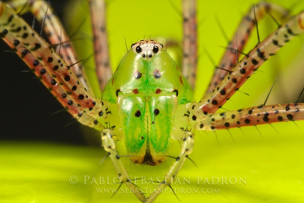 Oxyopidae 2 - USA