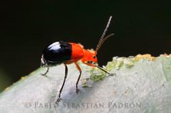 Chrysomelidae 3 - Ecuador