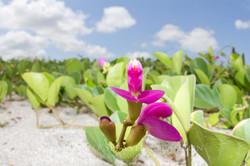Flower - Ecuador