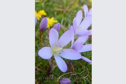 Gentianella cerastioides - Ecuador