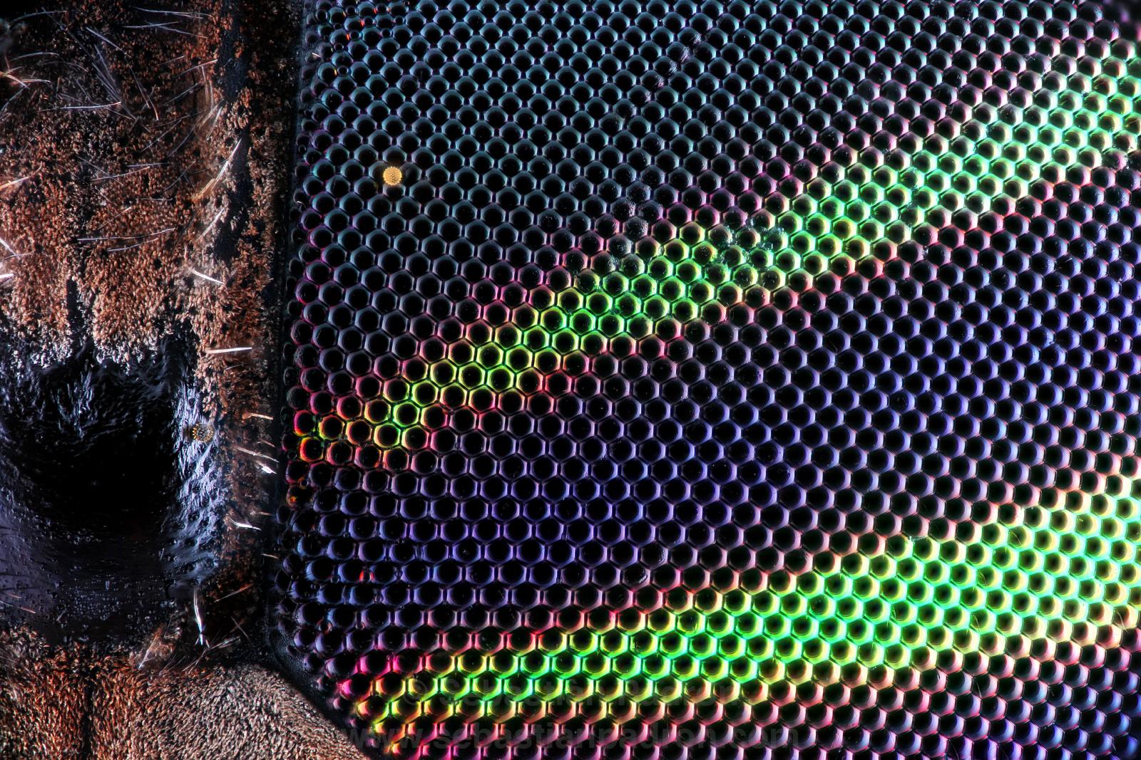 Tabanidae ojo