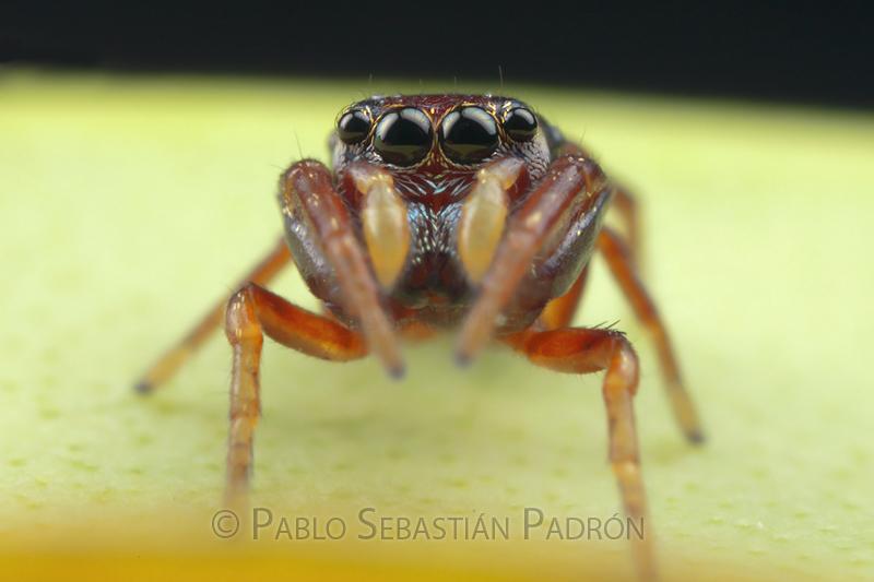 Salticidae 5 - USA