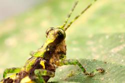 Grasshopper Ecuador