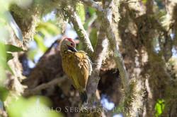 Piculus rubiginosus - Ecuador