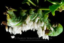 Braconidae & Sphingidae - Ecuador