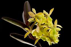 Epidendrum sp.