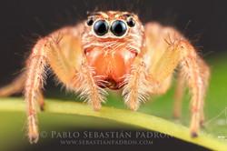 Salticidae - Ecuador