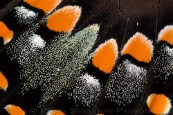 escamas-de-mariposa.jpg