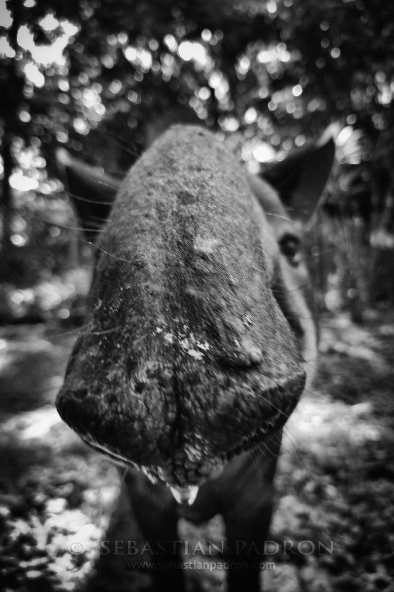 Tapir - Ecuador