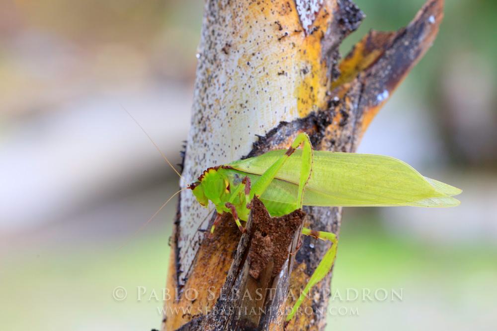 Grasshopper 2 Ecuador