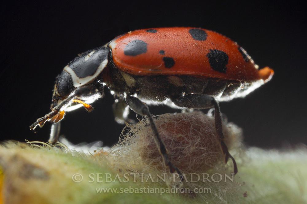 Coccinellidae 2 - Ecuador