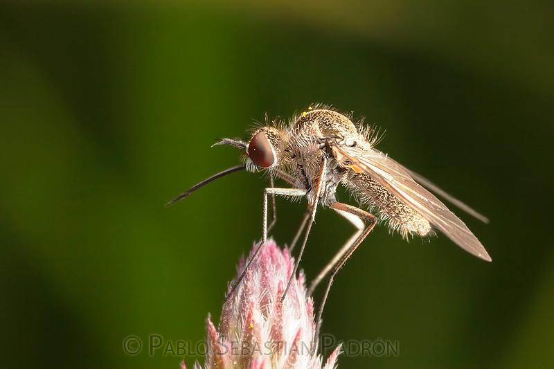 Bombilidae 2 - Ecuador
