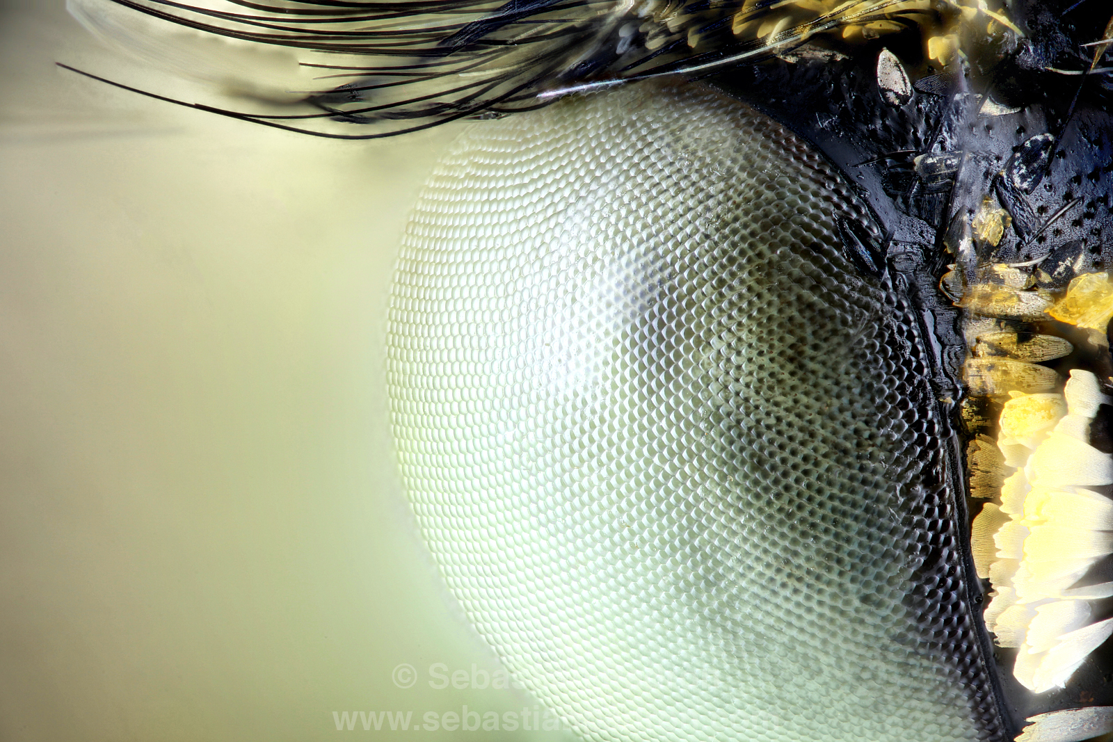 ojo de Tatochila mercedis