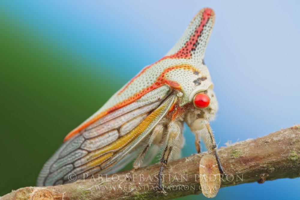 Platycotis vittata Gainesville Fl