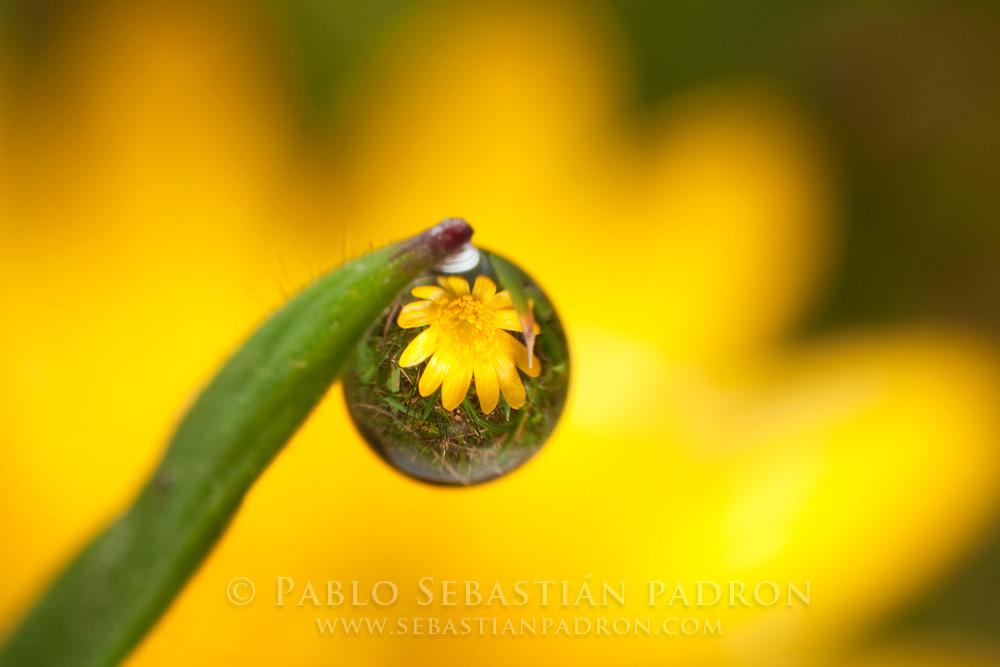 Hypochaeris sessiliflora 2- Ecuador