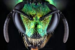 Halictidae