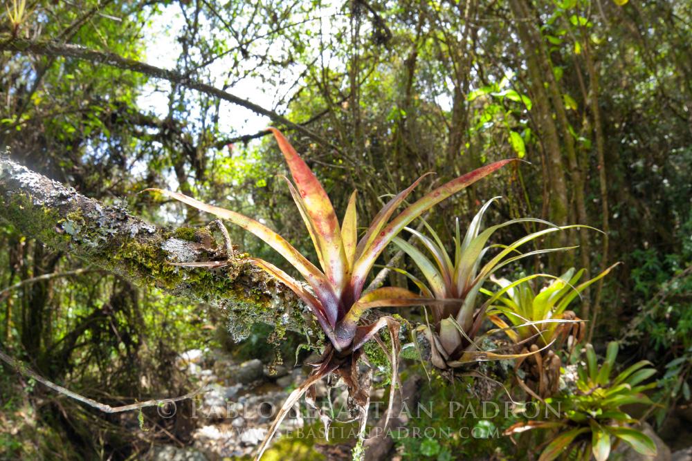 Bromelia 3 - Ecuador