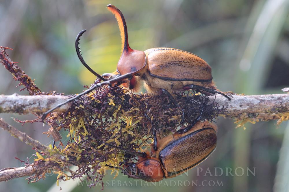 Golopha aegeon - Ecuador