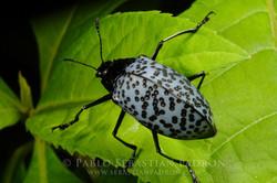 Gibbifer sp. - Ecuador