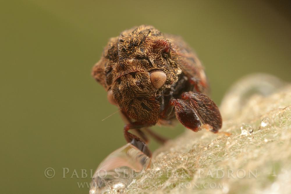 Membracidae 4 Ecuador