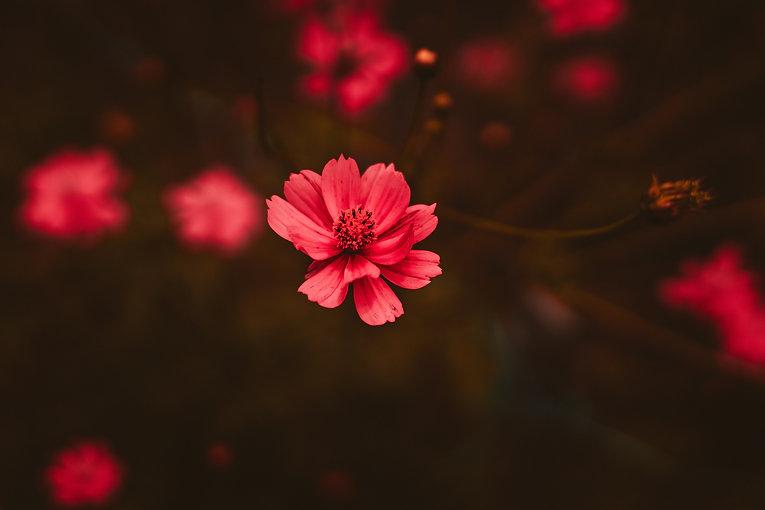 a-ruby-red-flower.jpg
