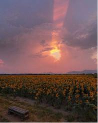 ひまわり畑🌻の夕景