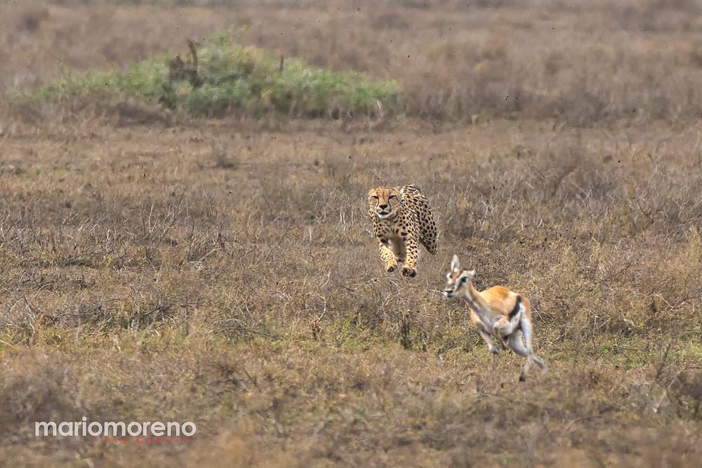 A cheetah chasing a gazelle in Serengeti
