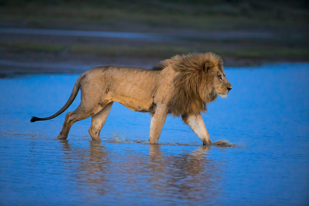A male lion in Serengeti during the blue hour