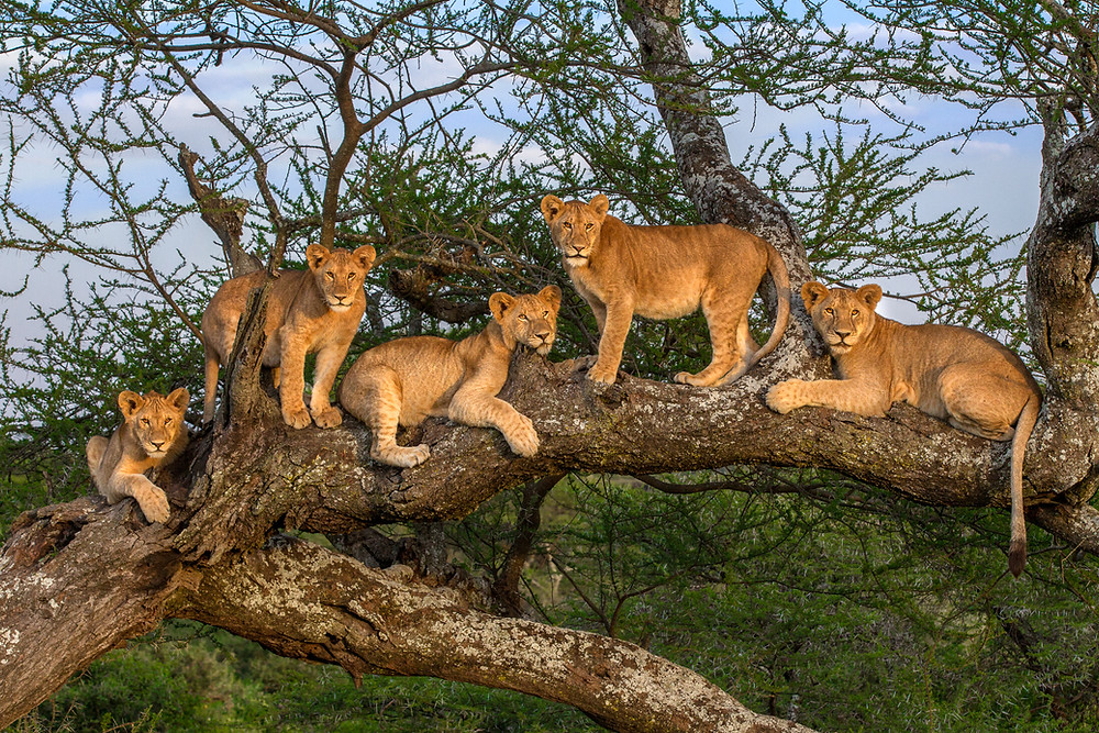 Five lion cubs in a tree in Serengeti