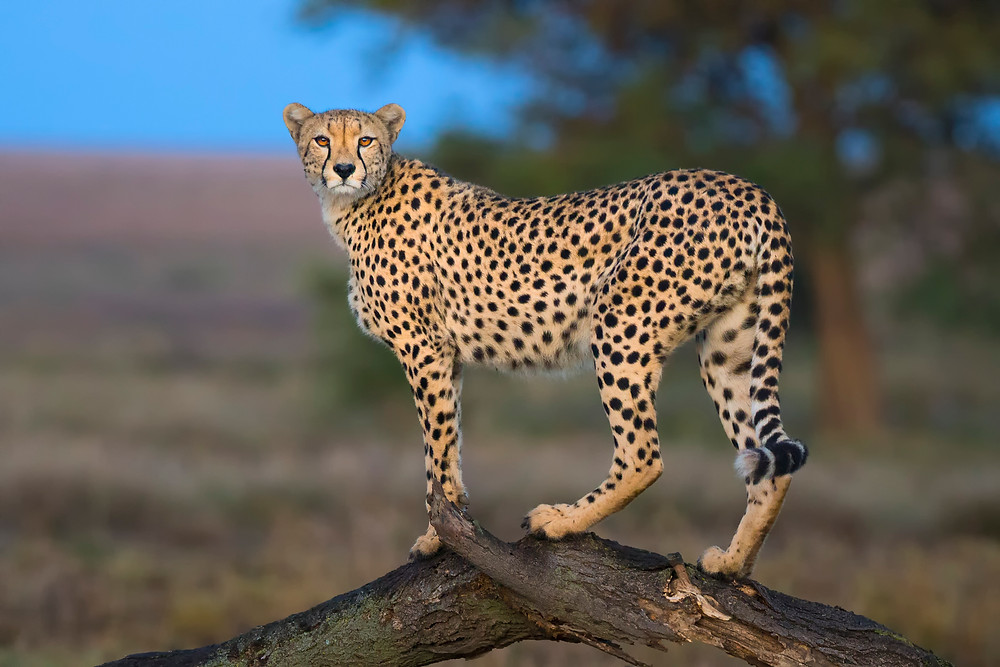 Cheetah posing on a dead tree in Serengeti National Park