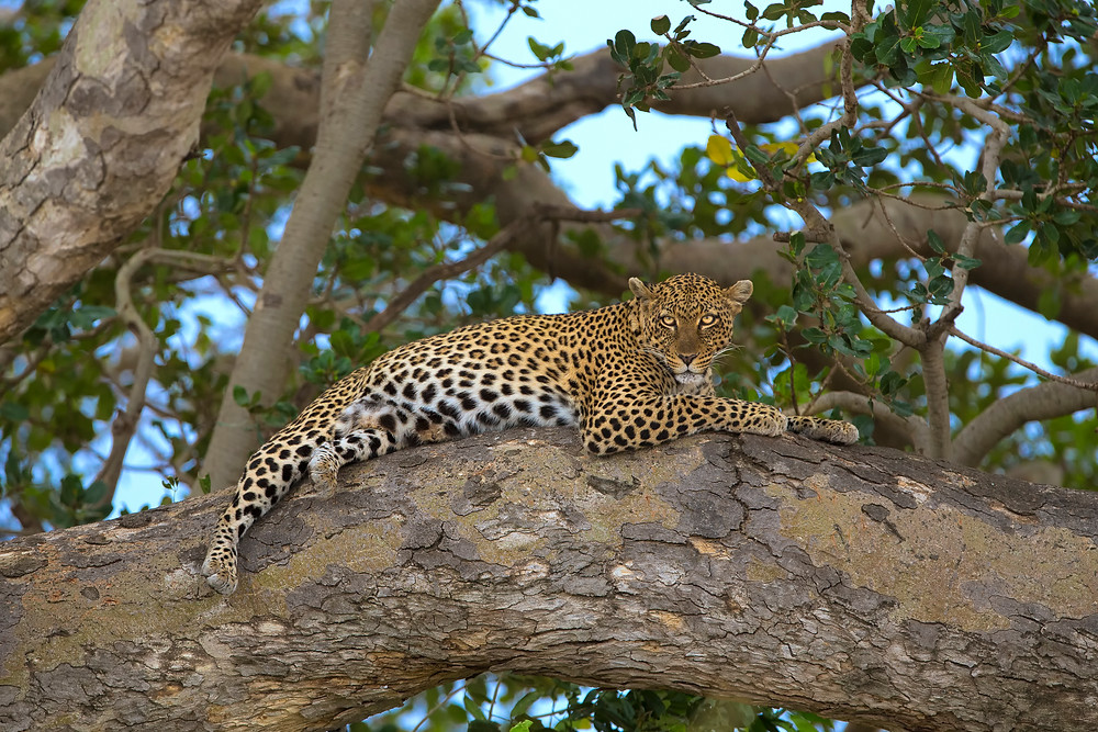 A leopard in a tree in the Serengeti National Park, Tanzania