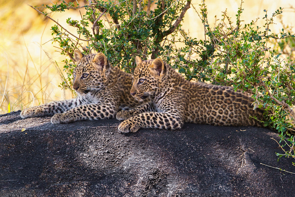 Two leopard cubs in the Serengeti National Park, Tanzania