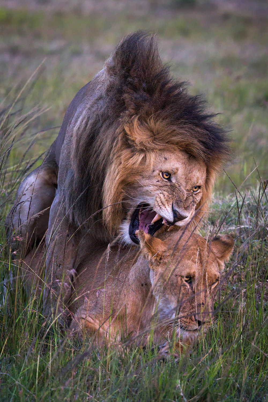 Mating lions in Masai Mara, Kenya